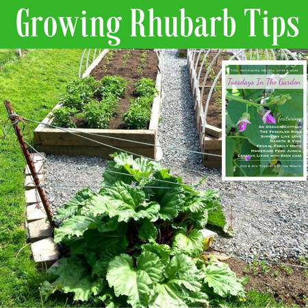 Tips for growing rhubarb