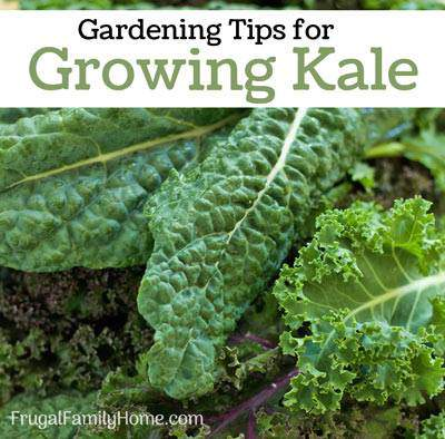 tips for growing kale