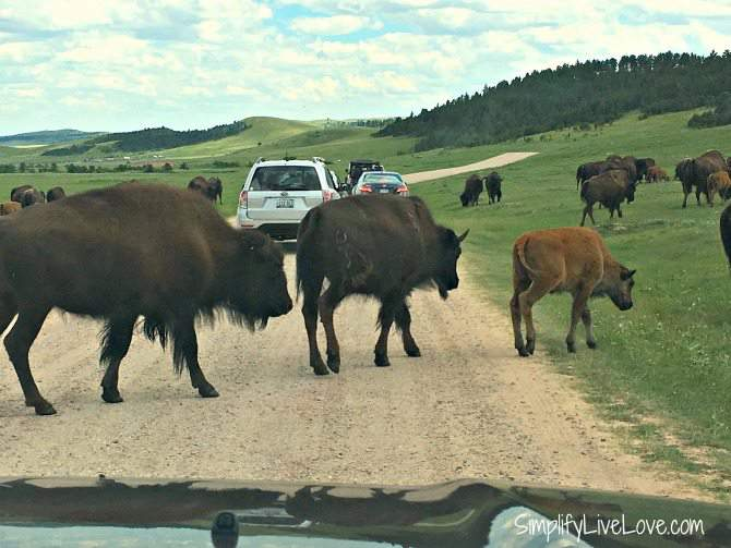 Herd of buffalo at Custer State Park Wildlife Loop Road