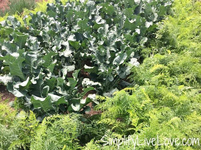 veggie companion plants