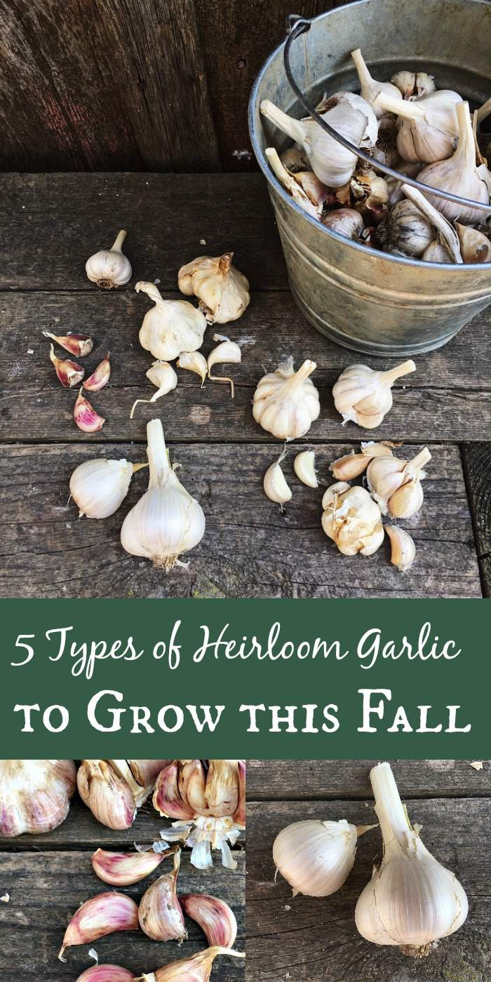 Wondering what type of garlic to plant this fall? These 5 types should be staples in any garlic garden!