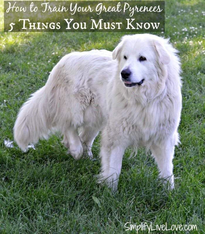 How to train your great pyrenees dog