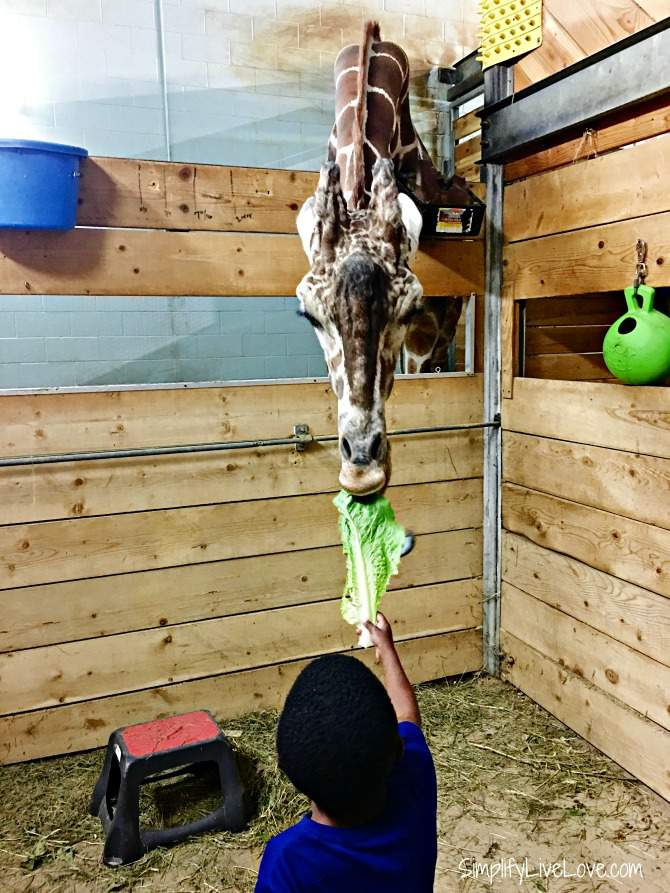 Feed the giraffes at Como Zoo in the Twin Cities