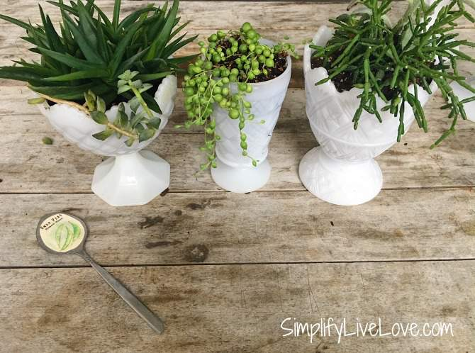 succulents in upcycled milk glass