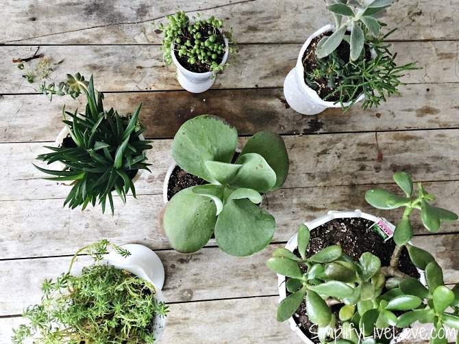variety of succulents in milk glass