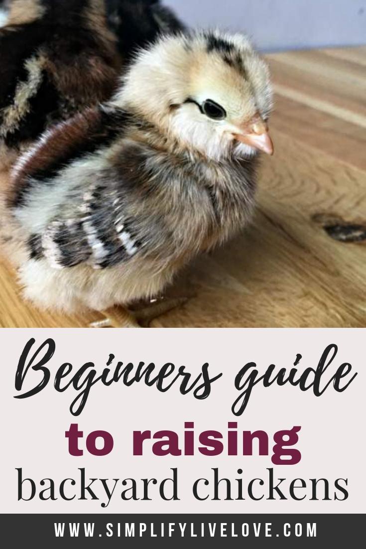 Beginner's guide to raising backyard chickens
