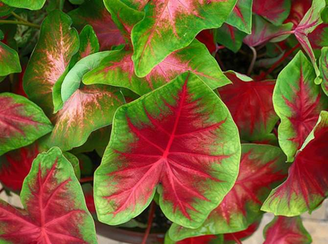Colorful caladium foliage is one of the potted plants for shade