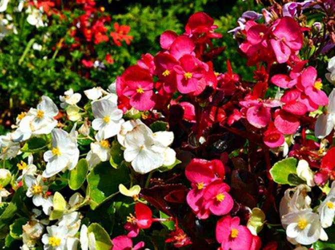 Shade Plants like Begonia can be One of the Best Potted Plants for Shaded Porch