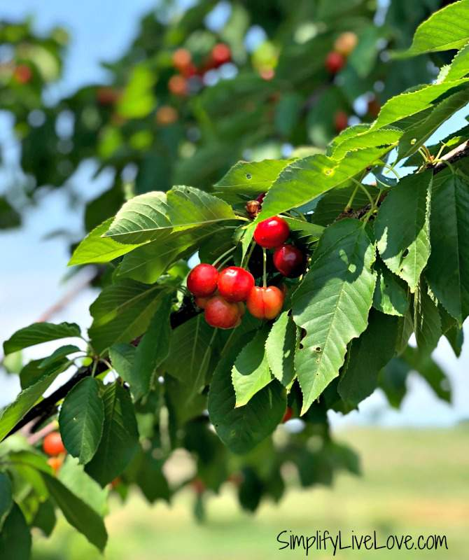 cherries on a cherry tree in the simplifylivelove orchard