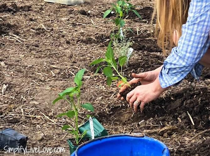 planting seedlings with BioFlora Seaweed Creme