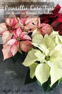 Poinsettia Care Tips for Beautiful Flowers All Season