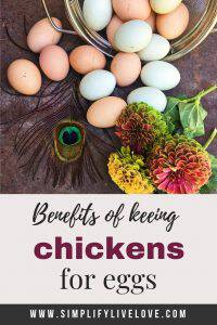 keeping backyard chickens for eggs