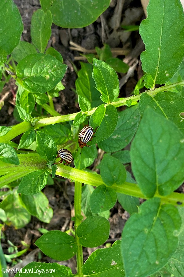 colorado potato beetle potato bugs