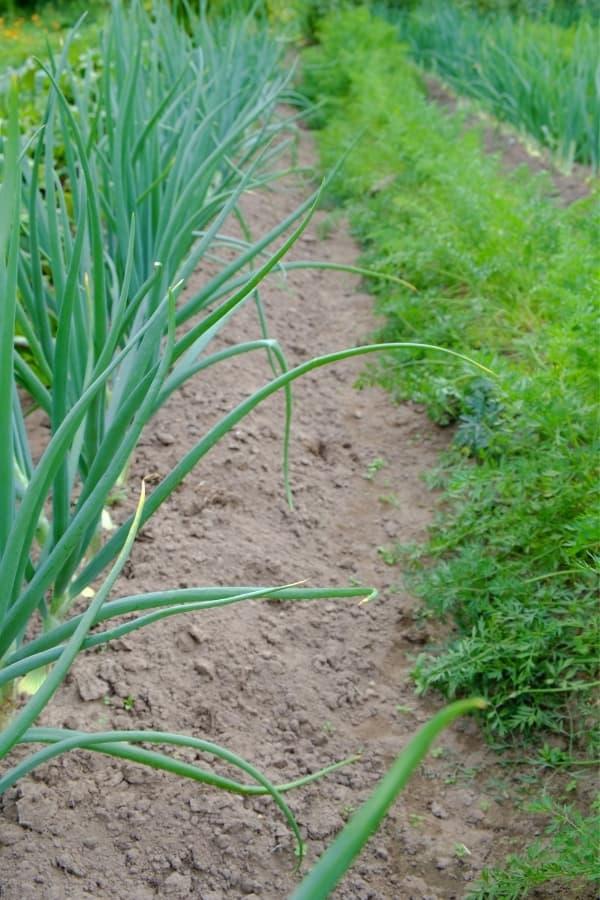 growing carrots in the garden