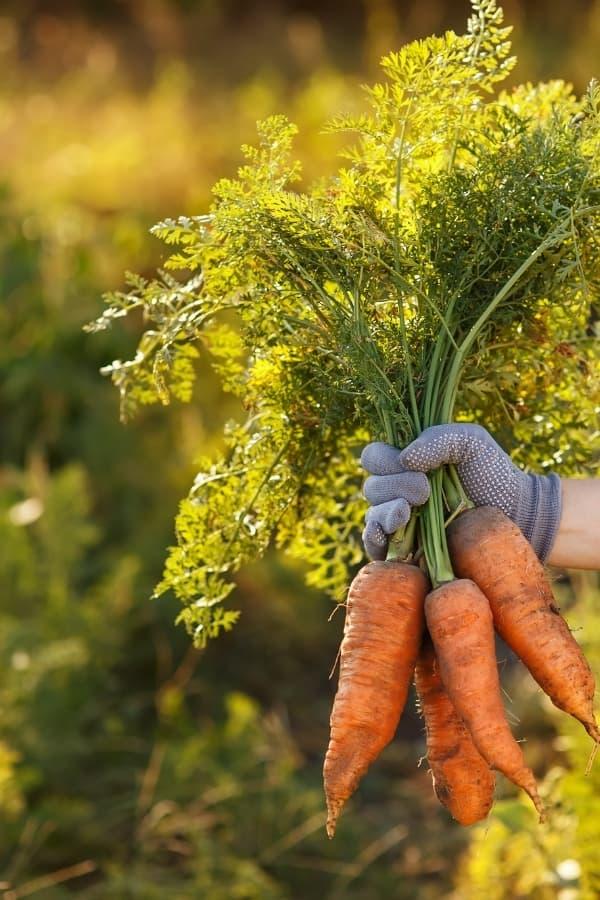 hand full of carrots