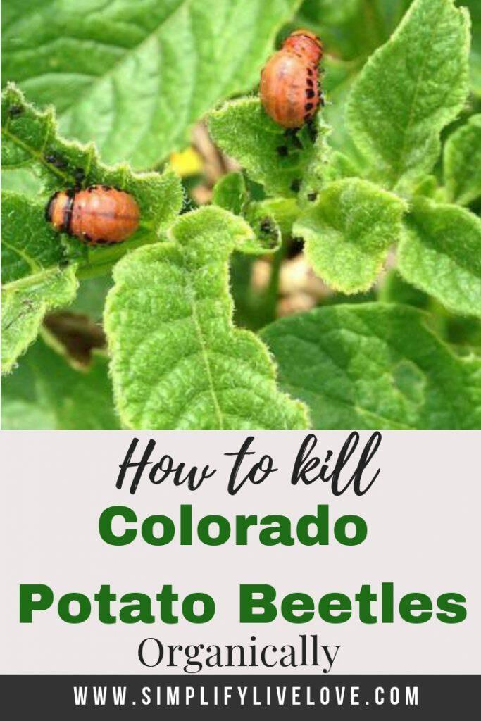 how to kill colorado potato beetles organically