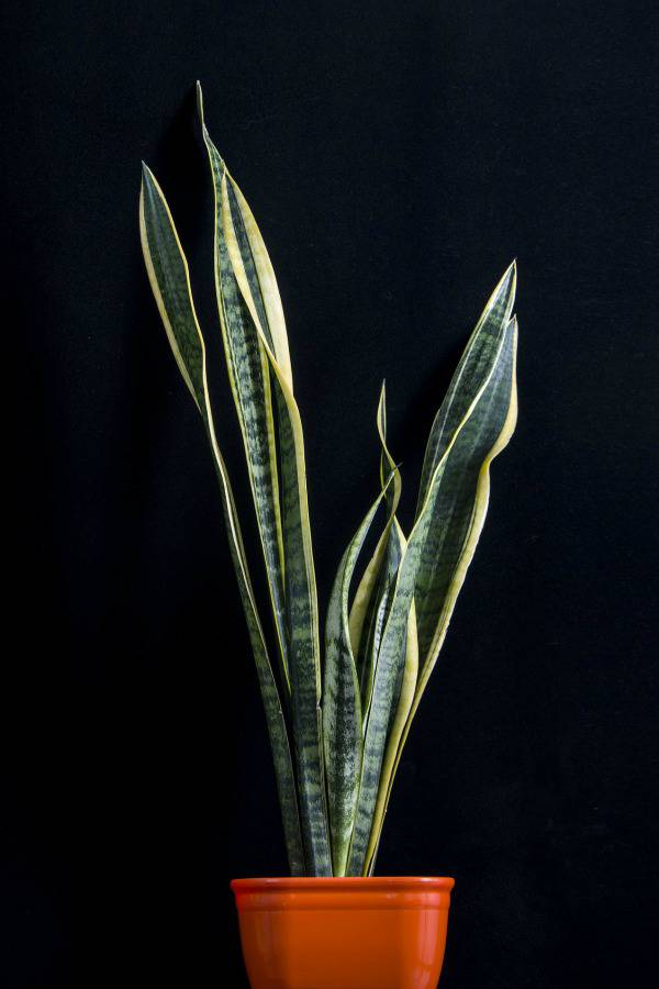 snake plant is an easy house plant to keep alive