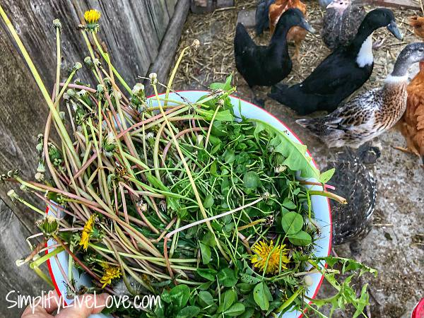 bowl full of treats for chickens