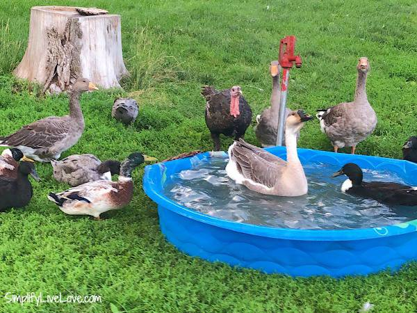 backyard flock in a kiddie pool