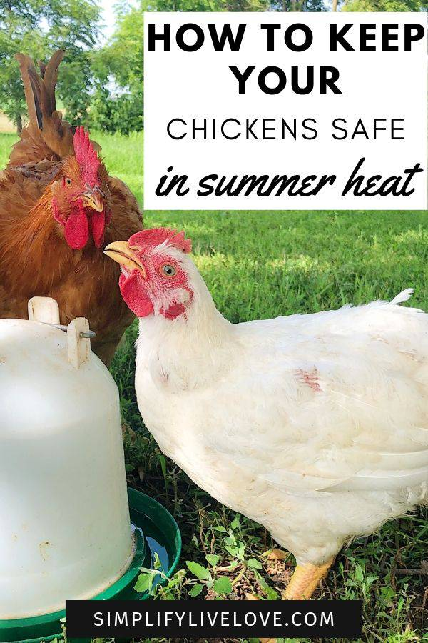 keep chickens cool in summer