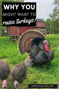 raising turkeys