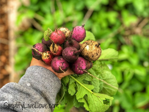 radish bouquet - quick growing fall vegetables