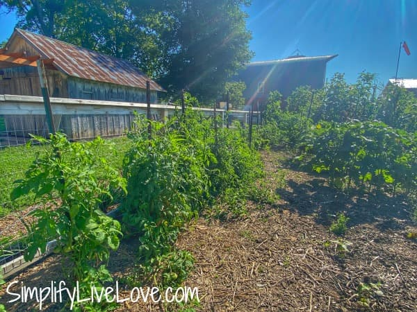 staked tomatoes in a garden