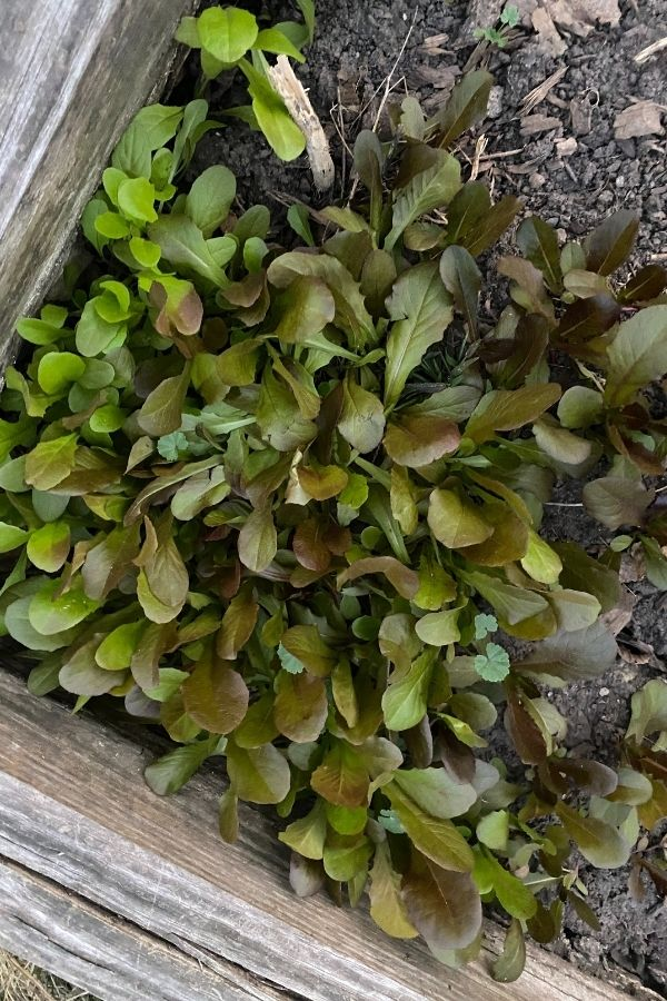 Tasty Greens Make the Perfect Spring Garden Plants