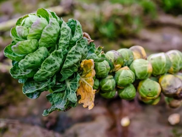 brussel sprouts on a vine